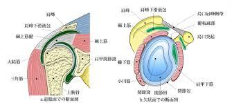 肩関節解剖図